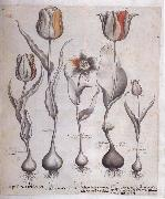 Drawing for the Hortus Eystettensis