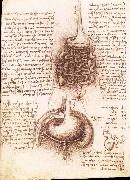 Anatomical drawing of the stomach and the intestine, LEONARDO da Vinci