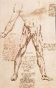 Muscle structure of the thigh, LEONARDO da Vinci