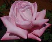 unknow artist Realistic Pink Rose oil painting