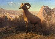 Albert Bierstadt A Rocky Mountain Sheep, Ovis, Montana oil painting reproduction