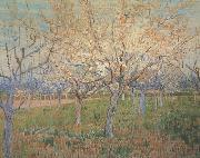 Orchard with Blossoming Apricot Trees (nn04)_