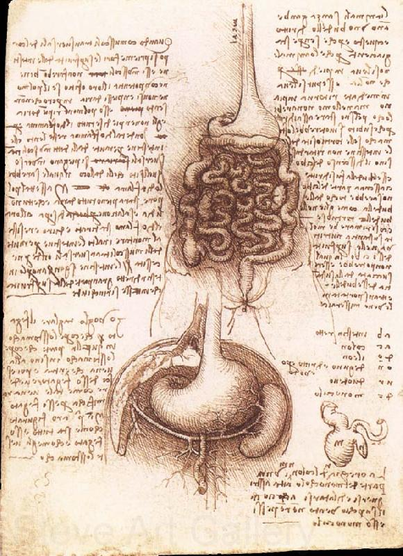LEONARDO da Vinci Anatomical drawing of the stomach and the intestine