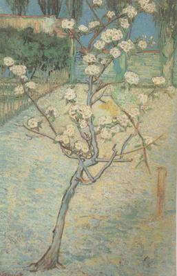 Vincent Van Gogh Blossoming Pear Tree (nn04)