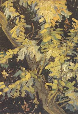 Vincent Van Gogh Blossoming Acaia Branches (nn04)